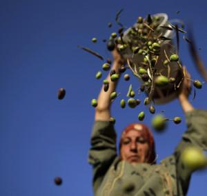 Donna palestinese che raccoglie olive