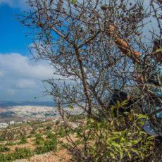 Radicati al terreno come alberi di olive: un campo in Palestina