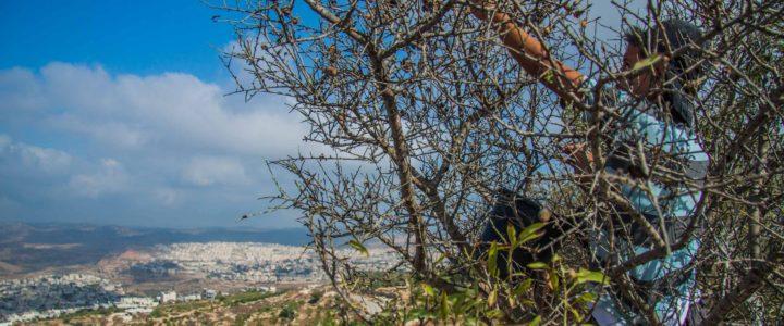 Un campo in Palestina per la raccolta delle olive