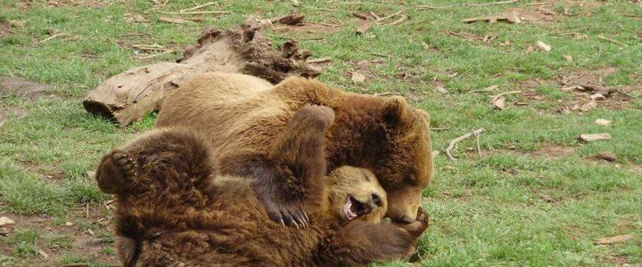 Dentro alla foresta degli orsi: campo a Kuterevo, Croazia