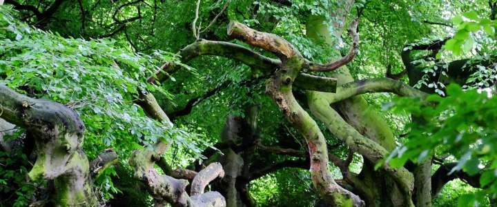 Protezione delle foreste di faggi di Shirakami: un campo in Giappone