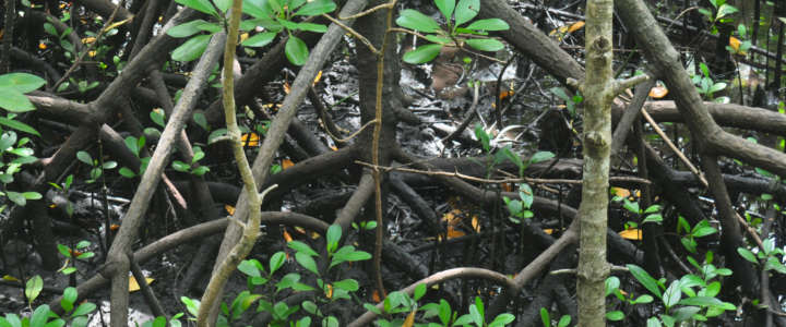 Piantare le mangrovie per proteggere l'ambiente: un campo a Zanzibar