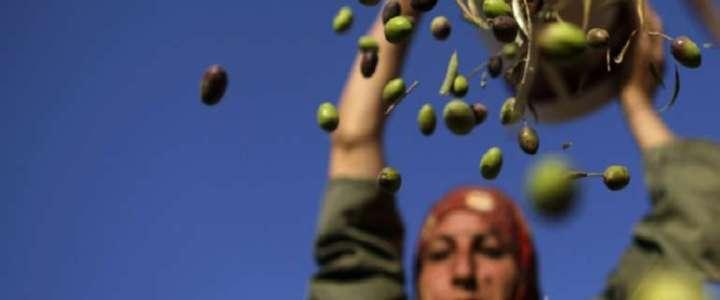 Uno scambio interculturale durante la raccolta delle olive: un campo in Giordania