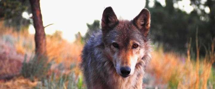 Workcamp coi lupi negli Stati Uniti d'America